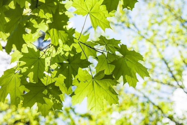 Identification of Maple Tree