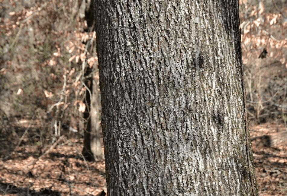 Pignut Hickory Wood Uses